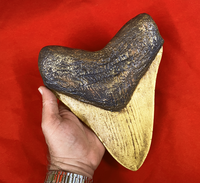 finished-megalodon-tooth_1000x917.png